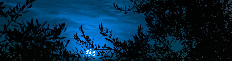 Sun Setting, Olive Orchard, Santa Ynez, California