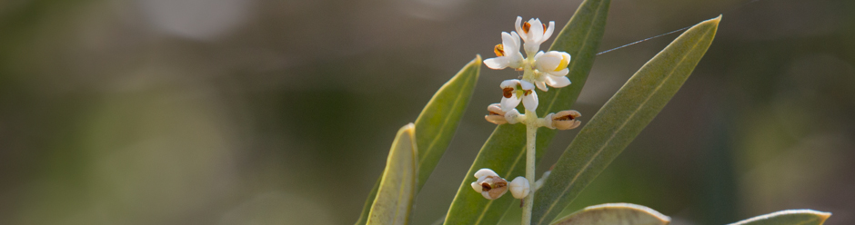 Olive Blossoms in Santa Ynez Valley, California