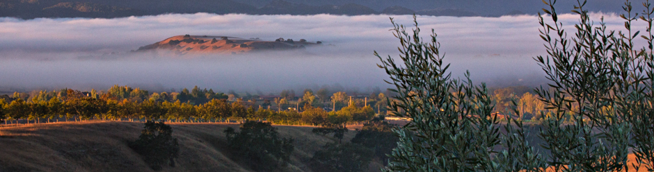 Morning fog in Santa Ynez Valley olive orchard