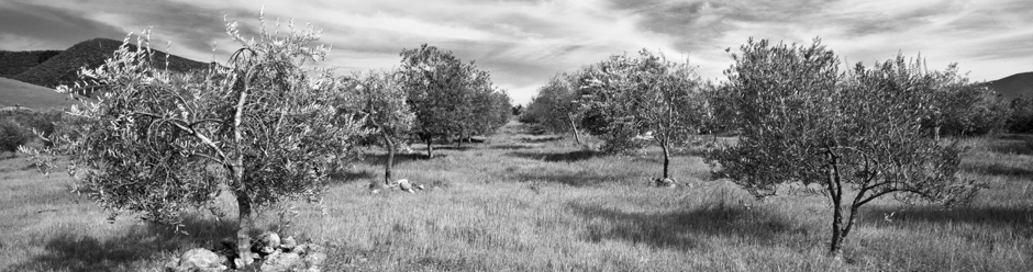 Olive Orchard in Santa Ynez Valley, California