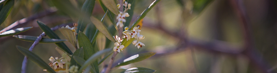 More Olive Blossoms in Santa Ynez Valley Olive Orchard